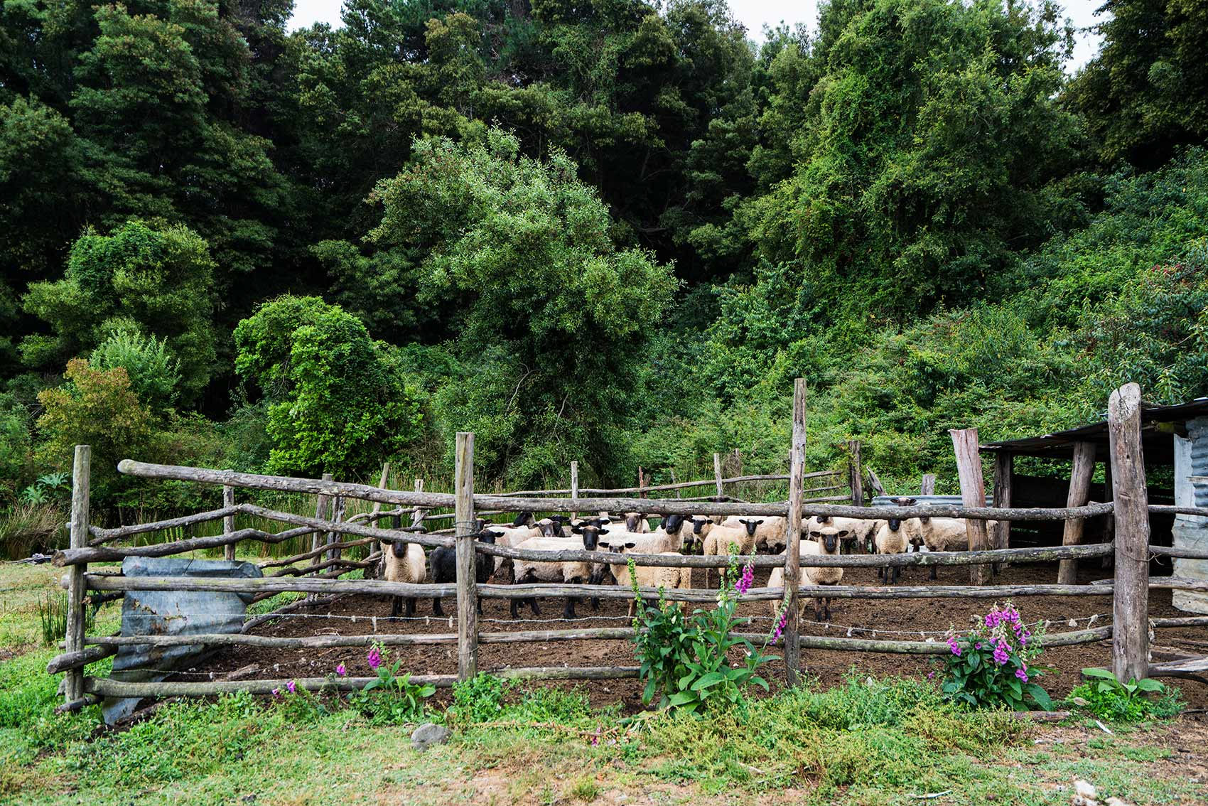 Lake_Lanalhue_Sheep